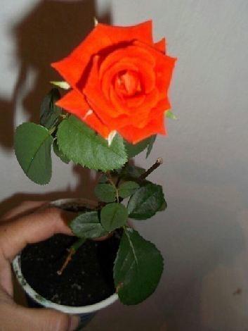 Как укоренить розу в картофеле