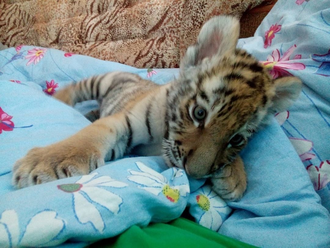 картинки спящие тигрята готовили своим