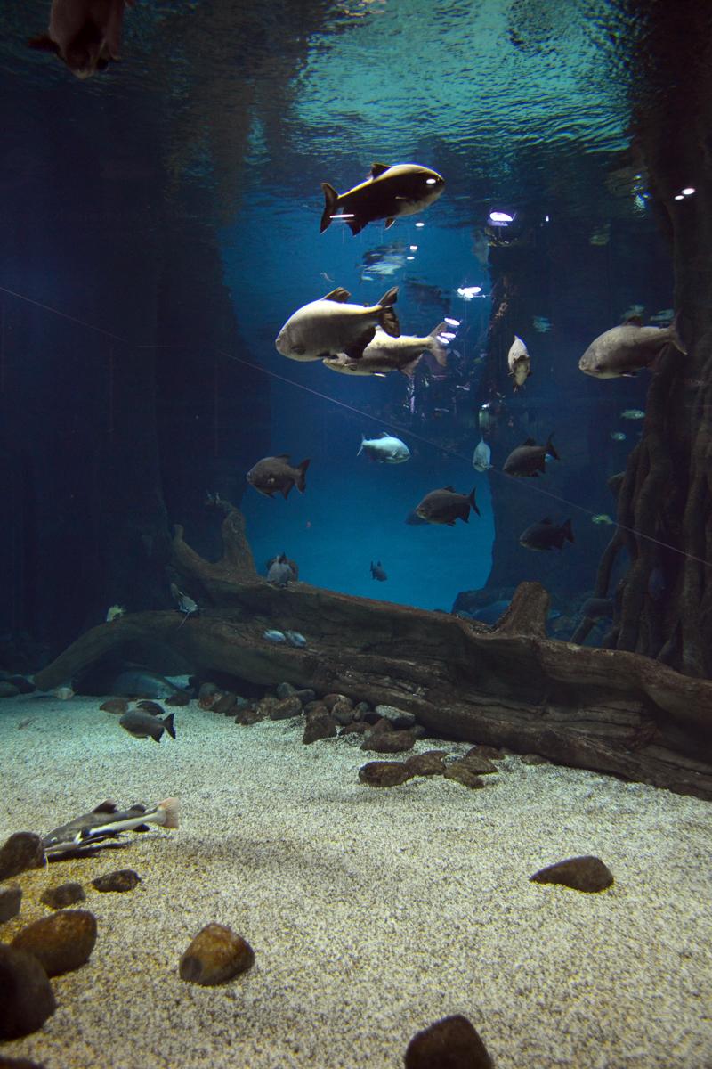 11. В огромных аквариумах плавают акулы.
